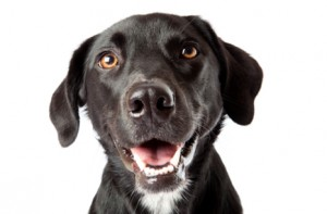 General Image - Black Lab
